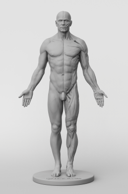 3dtotal Anatomy: male figure